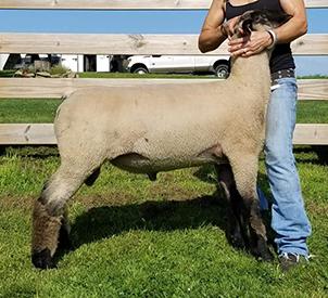 MSB Suffolk Club Lambs :: About Us